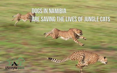 Dogs in Namibia Are Saving the Lives of Jungle Cats