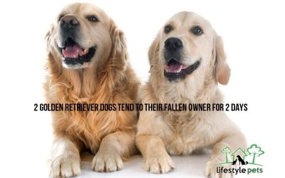 Two Golden Retriever Dogs Tend to Their Fallen Owner for Two Days