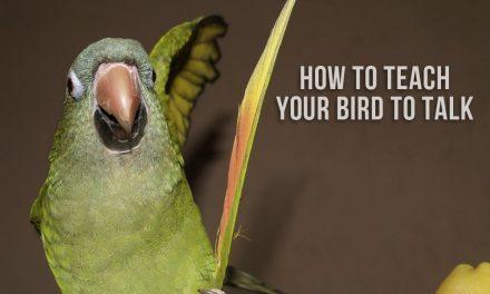 How to Teach Your Bird to Talk