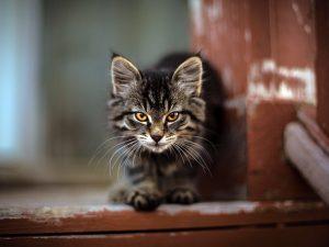 Little werewolf cat.