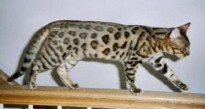 A Bengal cat walking over a railing of a staircase.