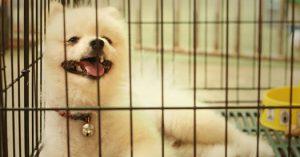 Pomeranian puppy in a pet shelter.