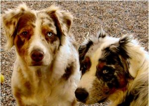 Two dogs together with clear eyes looking at the camera.