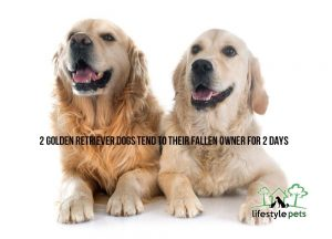 Two golden retriever dogs smiling on a white floor.