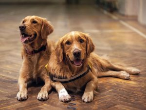 Two golden-retriever on a wooden floor.
