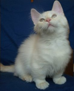 A little Munchkin cat looking up.