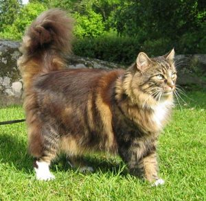 A Norwegian forest cat standing on the grass.