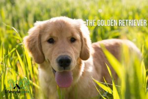 A young Golden Retriever dog standing on the grass.